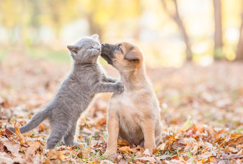 mongrel puppy kisses a kitten on autumn leaves