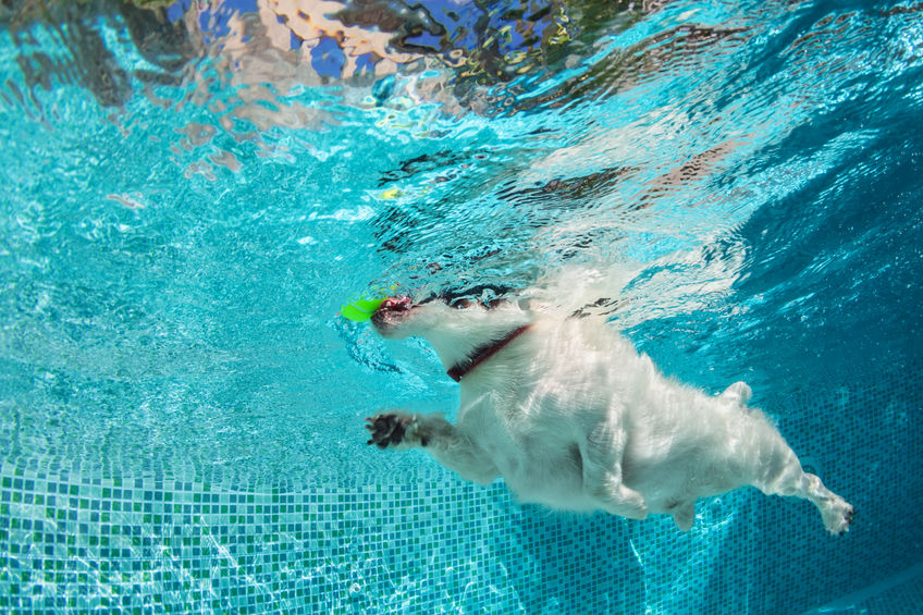 Dog fetch ball in swimming pool. Underwater photo.
