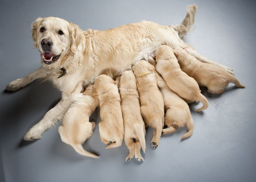 6001119 - female dog of golden retriever with puppies